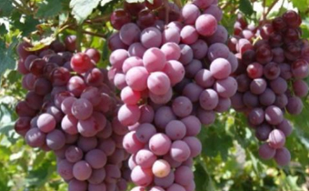 冬天吃葡萄好还是葡萄干 冬天吃葡萄干降火吗