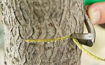 核桃树为什么要放浆 核桃树放浆的好处有哪些