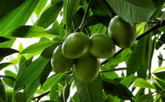 海芒果为什么有毒 海芒果和芒果有什么不同