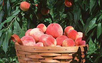 桃子的热量高还是低 桃子多吃是不是会变胖