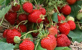 草莓空心是什么原因造成的 空心草莓会食物中毒吗