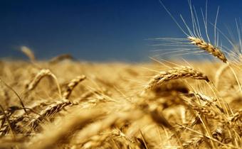 防止小麦生虫的方法 小麦生虫了还可以吃吗