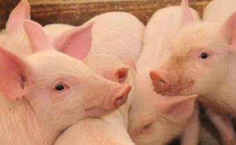 2019中秋节猪肉价格会稳定下来吗 中秋节猪肉会40元一斤吗