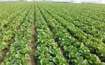 白菜是种沟里还是垄上 种的大白菜烂心是怎么回事