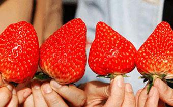 吃草莓可以解暑吗 中暑了能不能吃草莓