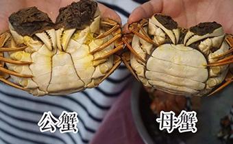 大闸蟹怎么看公母 吃大闸蟹有什么讲究吗