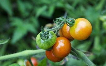 为什么霜降吃柿子 霜降柿子的吃法