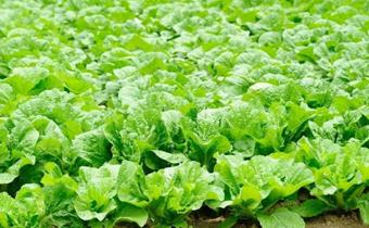 今年白菜会涨价吗2019 刚下完雨可以直接种白菜吗
