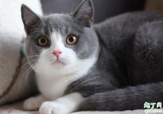 三个月的小猫的猫藓怎么治 猫藓会传染给人吗3