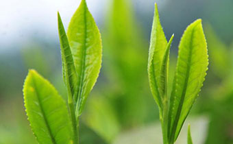 茶叶在高温下会变质吗 茶叶怎么储藏多年不变质
