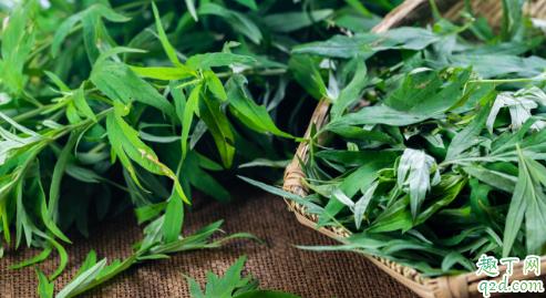 艾叶艾草是同一种植物吗 艾草和艾叶怎么区分1