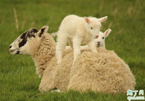 痛风发作期间能不能喝羊奶 牛奶营养高还是羊奶4