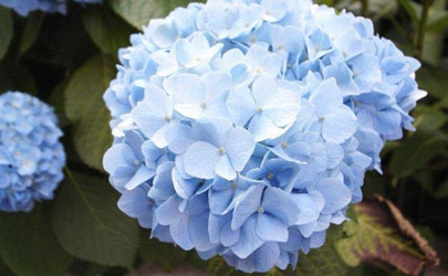 绣球花在花期换盆能行不 刚买的绣球花怎么入盆