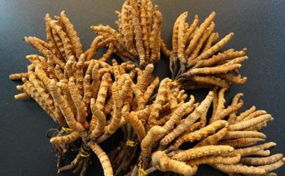 虫草功效作用真的大吗 常吃冬虫夏草会不会砷中毒