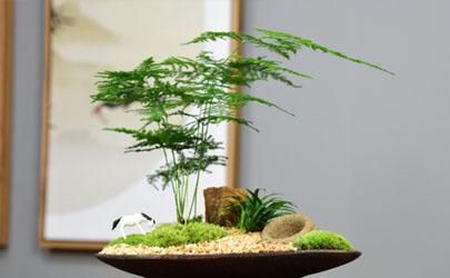 文竹剪枝扦插可以成活吗 文竹咋样养才能长得矮壮