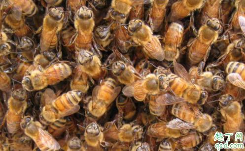 土蜂蜜和意蜂蜜哪儿不一样 中蜂蜜和意蜂蜜哪个好2