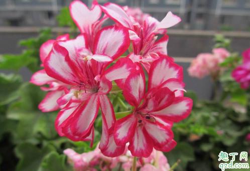 天竺葵光长叶子不开花图片