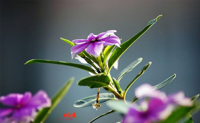长春花是多年生还是每年种 长春花怎样养爆盆