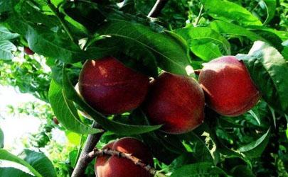 桃树适合与其它果树混种吗 桃树怎么种结果快