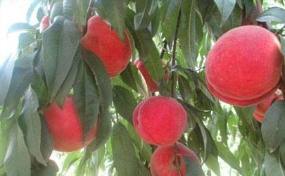 新种的桃树苗能剪枝吗 桃树什么时候剪枝最好
