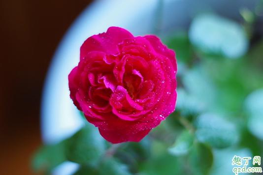蔷薇花掉叶子怎么回事图片