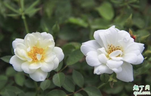 蔷薇冬天会掉叶子吗图片