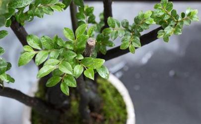 黑骨茶落叶后还长新叶吗 黑骨茶叶子掉光了怎么急救