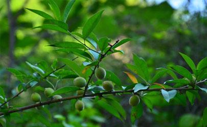 扦插的桃树能结果吗 桃树怎么扦插成活率高