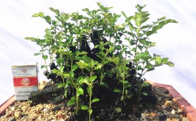 黑骨茶盆栽怎么養 黑骨茶可以壓條繁殖嗎