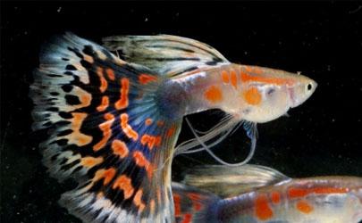 孔雀魚什么樣是懷孕 怎么讓孔雀魚繁殖快