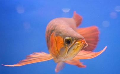 龙鱼为啥会掉眼 预防龙鱼掉眼有什么妙招