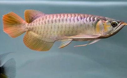 龙鱼可以和其他种类的鱼混养不 龙鱼发财鱼混养怎么喂好