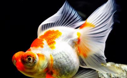 三湖慈鲷的饲料可以喂金鱼吗 三湖慈鲷饲料养金鱼的影响