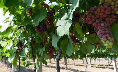 葡萄清园一般什么时候 葡萄清园可以打波尔多液吗