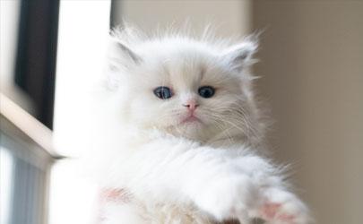 布偶猫老掉毛正常吗 怎么让布偶猫少掉毛