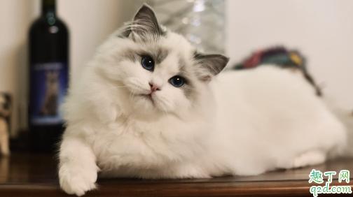 布偶猫适合新手养吗 养布偶猫需要注意什么1