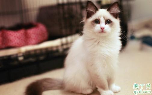 布偶猫适合新手养吗 养布偶猫需要注意什么2