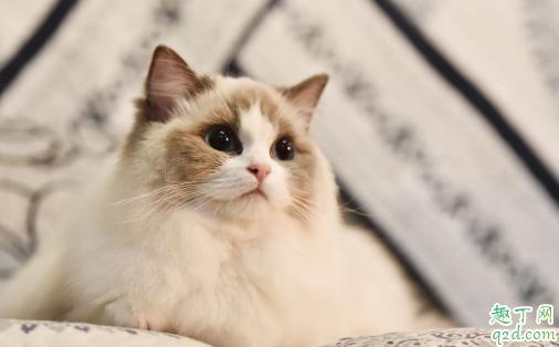 布偶猫适合新手养吗 养布偶猫需要注意什么3
