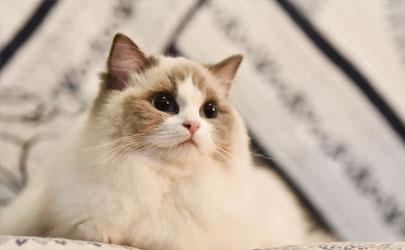 布偶猫适合新手养吗 养布偶猫需要注意什么
