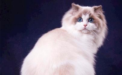 布偶猫值得养么 怎么才能把布偶猫养好