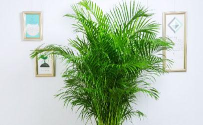 袖珍椰子放卧室好吗 怎样养袖珍椰子长的大