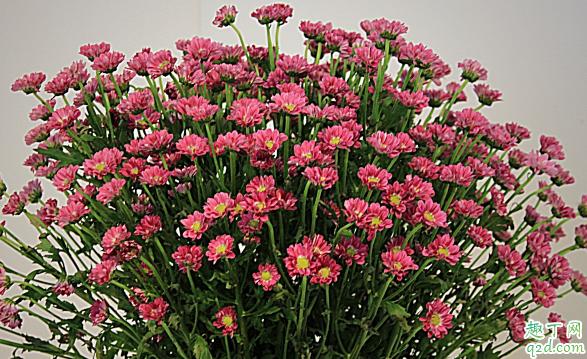 多头菊花能在室内养植吗 多头菊花怎样养花开旺盛2