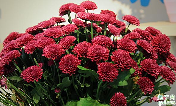 多头菊花能在室内养植吗 多头菊花怎样养花开旺盛3