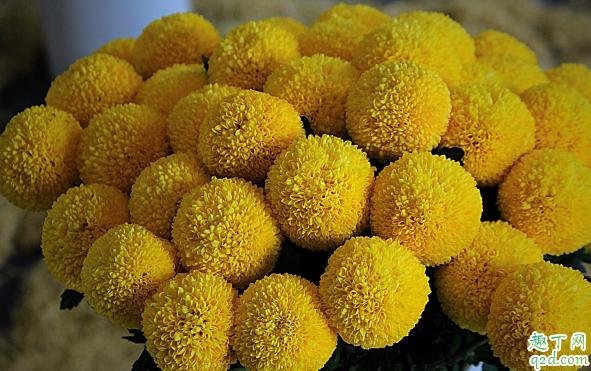 多头菊花能在室内养植吗 多头菊花怎样养花开旺盛1