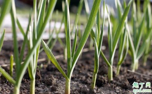 大蒜苗期发生黄化的原因 大蒜苗期黄化怎么办1