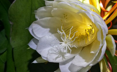 韦陀花室内养有毒吗 韦陀花怎样养花开的旺盛