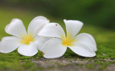鸡蛋花树好养活么 鸡蛋花怎样养长得旺盛