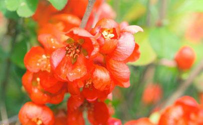 日本海棠几月开始长花蕾 日本海棠怎样养花开得快