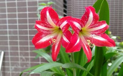 朱顶红不剪叶子能开花吗 朱顶红开花后要剪叶子吗