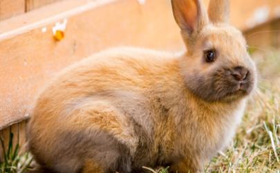 宠物兔有哪些种类 兔子当宠物要怎么养